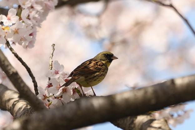 満開の桜にアオジ