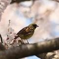 Photos: 満開の桜にアオジ