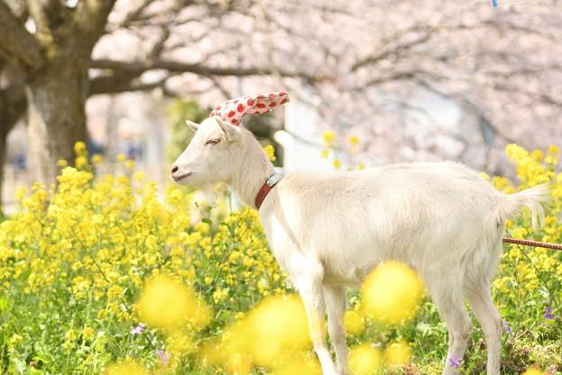春・菜の花・桜と ヤギの姫ちゃん