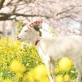 Photos: 春・菜の花・桜と ヤギの姫ちゃん