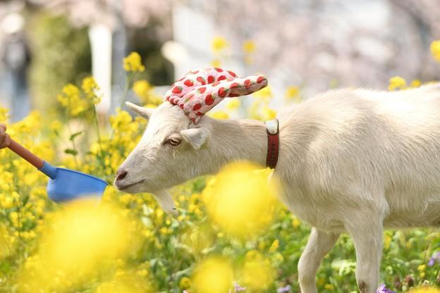 菜の花と白ヤギ姫ちゃん