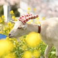 Photos: 菜の花と白ヤギ姫ちゃん