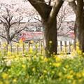 菜の花と桜の向こうに金太郎