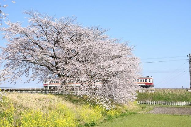 Photos: 桜と菜の花の思川橋梁を行く東武6050系