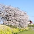 桜と菜の花の思川橋梁を行く東武6050系