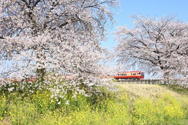 桜と菜の花の思川橋梁を行く赤い特急きぬがわ号