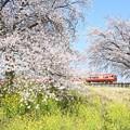 Photos: 桜と菜の花の思川橋梁を行く赤い特急きぬがわ号