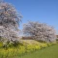 菜の花と桜の思川橋梁を行く金色スペーシア