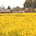 菜の花のJR日光線