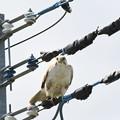 Photos: 電線にノスリ
