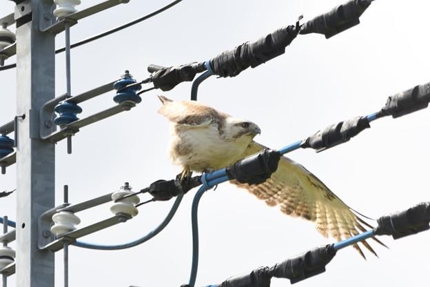 飛び立つノスリ 片羽飛行?