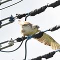 Photos: 飛び立つノスリ 片羽飛行?