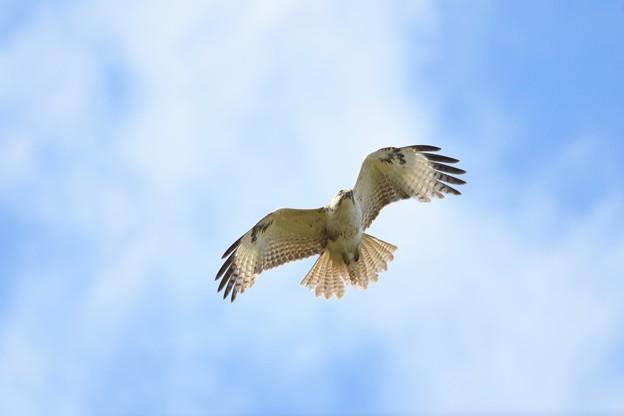 ノスリ飛翔