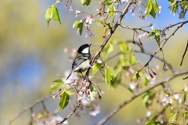 枝垂れ桜シジュウカラ