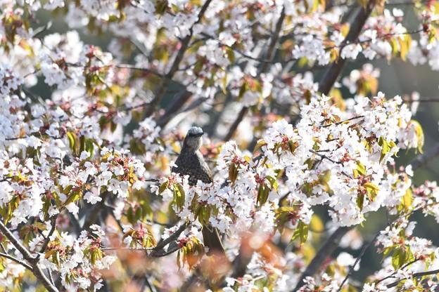 満開の桜花にヒヨドリ