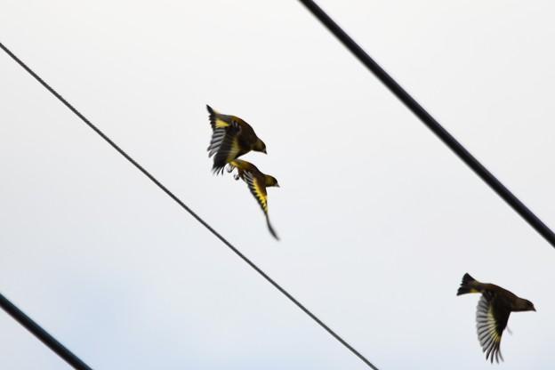 電線から飛び立つカワラヒワ