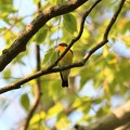 Photos: 枝にとまるキビタキ
