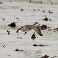 Photos: キアシシギ飛来