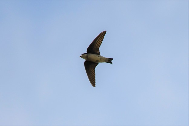 青空を飛ぶイワツバメ