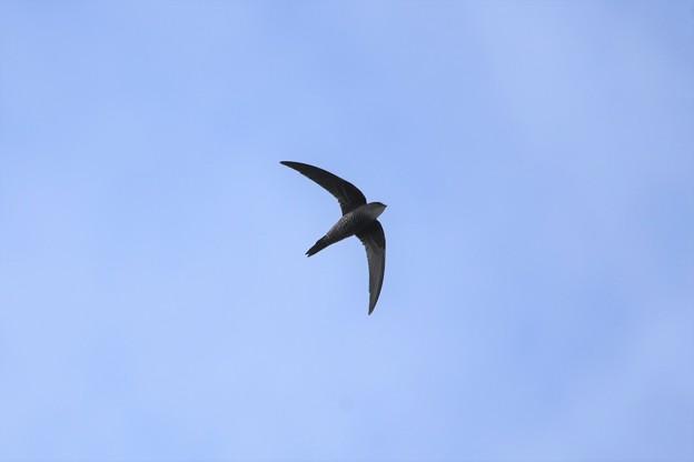 青空を飛ぶアマツバメ