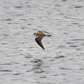 水面を飛ぶコチドリ
