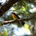 公園の林で謳うキビタキ
