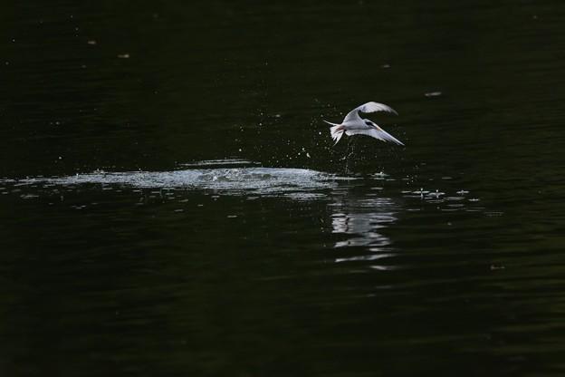 夕刻の公園池にコアジサシ!