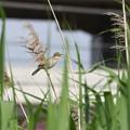 Photos: アシの穂で謳うオオヨシキリ