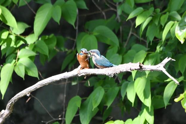 Photos: カワセミ巣立ち雛にお魚給餌