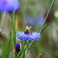 青い花にとまるミツバチ