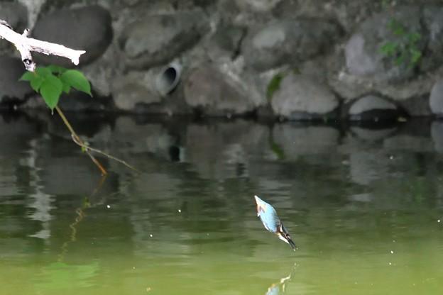 カワセミ雛鳥ダイビング練習