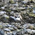 Photos: 空き地にコチドリ