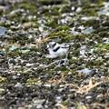 Photos: コチドリ雛鳥