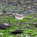 Photos: 元気に育つコチドリ幼鳥
