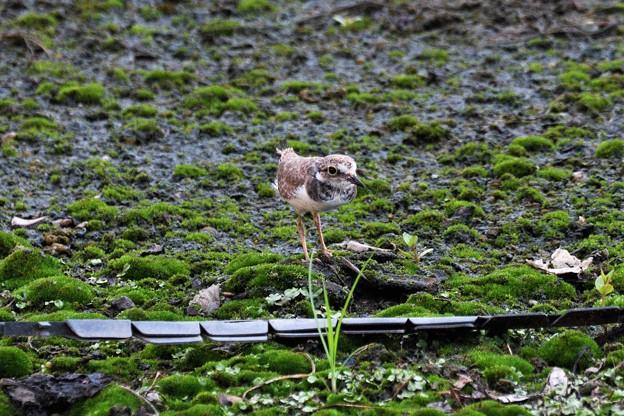Photos: 親鳥警戒の声に固まるコチドリ幼鳥
