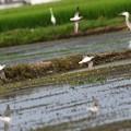Photos: 休耕田にアオアシシギ飛来