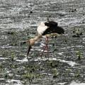 Photos: 休耕田で餌を探すコウノトリひかるパパ
