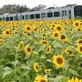 Photos: 向日葵畑を行くACCUM