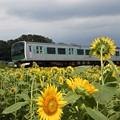 Photos: ひまわり咲く烏山線