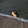Photos: 公園池端のフェンスにカワセミ