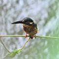 Photos: 水路上の小枝にとまるカワセミ