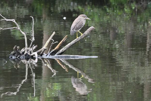 水辺の枝にホシゴイ