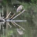 Photos: 水辺の枝にホシゴイ