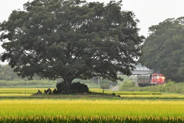 田んぼの大樹脇を行く