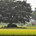 田んぼの大木