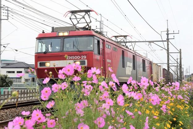 秋桜の宇都宮線を行く金太郎貨物列車