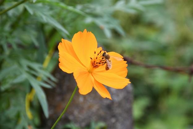 キバナコスモスとミツバチ