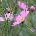 Photos: 秋桜と蜜蜂