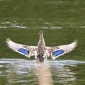 マガモ青い翼鏡