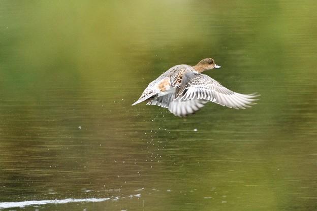ヒドリガモ飛翔
